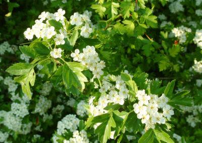 Weißdornblatt mit Blüte
