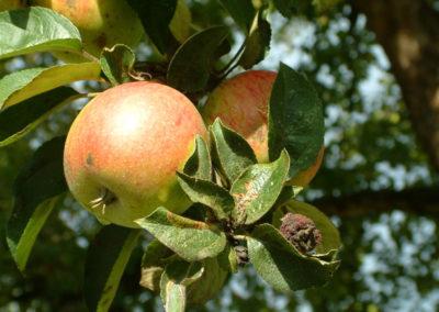 Apfelschalen